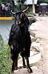 A Goat on the Roads of India Stock Photo - Royalty-Free, Artist: k86                           , Code: 400-04903363