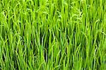 Green ear of rice closeup. Paddy fields. Stock Photo - Royalty-Free, Artist: GoodOlga                      , Code: 400-04907290