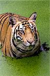 A royal bengal tiger with an angry look Stock Photo - Royalty-Free, Artist: avikgenxt                     , Code: 400-04908176