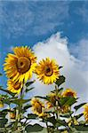 Two sunflowers against a background of cloudscape Stock Photo - Royalty-Free, Artist: A7880S                        , Code: 400-04908210
