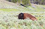 Bison relaxing in Hayden Valley of Yellowstone National Park - USA. Stock Photo - Royalty-Free, Artist: Wirepec                       , Code: 400-04909672