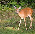 whitetail doe coming out of the forest just at sunset Stock Photo - Royalty-Free, Artist: gsagi                         , Code: 400-04909746