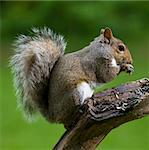 Tree squirrel that is on a limb after seeds Stock Photo - Royalty-Free, Artist: gsagi                         , Code: 400-04910654