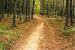 The road in the hornbeam forest, fine day in early autumn Stock Photo - Royalty-Free, Artist: qiiip                         , Code: 400-04914055