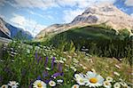 Field of daisies and wild flowers with Rocky Mountains in background Stock Photo - Royalty-Free, Artist: Sandralise                    , Code: 400-04916650