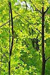 close-up view of young trees and fresh green leaves Stock Photo - Royalty-Free, Artist: rpstudio                      , Code: 400-04916995