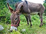 Orsiera Park, Piedmont Region, Italy: a donkey free in the park Stock Photo - Royalty-Free, Artist: Perseomedusa                  , Code: 400-04920481