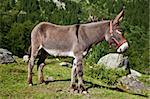 Orsiera Park, Piedmont Region, Italy: a donkey free in the park Stock Photo - Royalty-Free, Artist: Perseomedusa                  , Code: 400-04920482