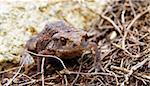closeup macro detail of brown frog in forest