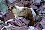 Hoary Marmot (Marmota caligata) sitting on a rock ledge at Glacier National Park in Montana. Stock Photo - Royalty-Free, Artist: Wirepec                       , Code: 400-04924984