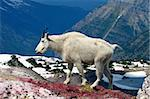 Mountain Goat (Oreamnos americanus) at Sperry Glacier in Glacier National Park - Montana. Stock Photo - Royalty-Free, Artist: Wirepec                       , Code: 400-04924989