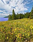 Pretty wildflowers grow near the shore of Jackson Lake in Grand Teton National Park - USA. Stock Photo - Royalty-Free, Artist: Wirepec                       , Code: 400-04924998