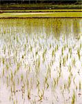Newly planted rice seedlings in a rural farmland in southern india Stock Photo - Royalty-Free, Artist: smarnad                       , Code: 400-04925167