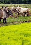 Oxen being used for ploughing farmland in rural India Stock Photo - Royalty-Free, Artist: smarnad                       , Code: 400-04925168