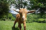young goat at Asturias countryside in Spain