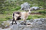 goat at Gorge of River Cares in Asturias Spain Stock Photo - Royalty-Free, Artist: quintanilla                   , Code: 400-04925386