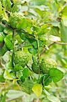 Kaffir Lime fruits growing on tree. These are a feature of Thai cooking as well as the leaves which are quite aromatic. Stock Photo - Royalty-Free, Artist: olovedog                      , Code: 400-04926133