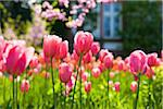 Darwin Hybrid Tulips in Bloom Stock Photo - Premium Rights-Managed, Artist: F. Lukasseck, Code: 700-04926442