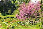 Judas Tree and Tulips Stock Photo - Premium Rights-Managed, Artist: F. Lukasseck, Code: 700-04926443