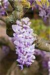 Close-Up of Wisteria Stock Photo - Premium Rights-Managed, Artist: F. Lukasseck, Code: 700-04926445