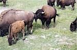 Wild bison in Yellowstone National Park, Wyoming Stock Photo - Royalty-Free, Artist: granitepeaker                 , Code: 400-04940450