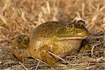 A large and fat bullfrog sitting in a recently cut field. Stock Photo - Royalty-Free, Artist: rdodson                       , Code: 400-04943863