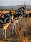 Zebra family portrait in game reserve with beautiful mane. Mother and son, or mother and daughter. Punk hairstyle/ mane Stock Photo - Royalty-Free, Artist: jacojvr                       , Code: 400-04944692