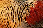 Abstract close up of the feathers of a Blue Partridge Brahma cockerel in red, gold, black and brown. Stock Photo - Royalty-Free, Artist: marilyna                      , Code: 400-04944944