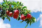 Red ripe apples on apple tree branch, blue sky background Stock Photo - Royalty-Free, Artist: Elenathewise                  , Code: 400-04962403