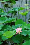 The lotus flower and leaves over pond water Stock Photo - Royalty-Free, Artist: ti_to_tito                    , Code: 400-04968033