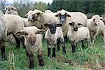 Sheep Herd in Germany Stock Photo - Royalty-Free, Artist: pillepalle                    , Code: 400-04969280