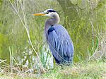 Blue Heron by water Stock Photo - Royalty-Free, Artist: eternal                       , Code: 400-04969712