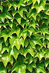 Green ivy background Stock Photo - Royalty-Free, Artist: Elenathewise                  , Code: 400-04969850