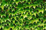 Background of green ivy covering a wall Stock Photo - Royalty-Free, Artist: Elenathewise                  , Code: 400-04971883