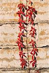 Virginia creeper on limestone wall Stock Photo - Royalty-Free, Artist: GeoM                          , Code: 400-04971972