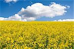 Golden field and blue sky Stock Photo - Royalty-Free, Artist: AlexMarkov                    , Code: 400-04972514