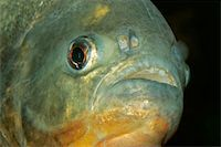 piranha fish - Portrait of a piranha fish   Stock Photo - Royalty-Freenull, Code: 400-04973740