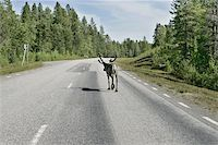 Reindeer on the highway to Boden, Sweden. Shot trough the car window as passing by. Stock Photo - Royalty-Freenull, Code: 400-04974816