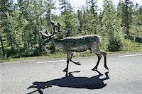 Reindeer on the highway to Boden, Sweden. Shot trough the car window as passing by. Stock Photo - Royalty-Freenull, Code: 400-04974817