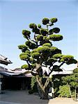 japanese tree in the temple backyard in Kyoto, Japan Stock Photo - Royalty-Free, Artist: yuriz                         , Code: 400-04974888