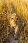 A female lion walking in long grass. Stock Photo - Royalty-Free, Artist: Audioslave                    , Code: 400-04975135