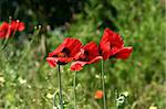 Three red poppies with green background Stock Photo - Royalty-Free, Artist: androsov1                     , Code: 400-04984166