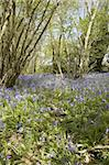 Blue bells in the woods in spring Stock Photo - Royalty-Free, Artist: markabond                     , Code: 400-04984661