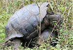 Giant Galapagos Tortoises Mating on th eisland of Santa Cruz, Ecuador Stock Photo - Royalty-Free, Artist: deserttrends                  , Code: 400-04987100