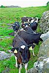 Dairy cows waiting for their feed while standing next to stone. Stock Photo - Royalty-Free, Artist: mparbus                       , Code: 400-04989509