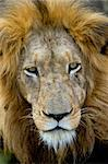 Lion's head- Panthera leo in the wild