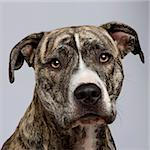 American Staffordshire terrier (18 months) in front of a white background Stock Photo - Royalty-Free, Artist: isselee                       , Code: 400-05009364