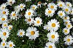 White Daisy Flowers Stock Photo - Royalty-Free, Artist: Nikonite                      , Code: 400-05018279