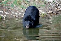 A picture of a beautiful American black bear in a small lake Stock Photo - Royalty-Freenull, Code: 400-05018800