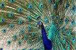 peacock dance attracting peahen mating calls Stock Photo - Royalty-Free, Artist: Nikonite                      , Code: 400-05020404